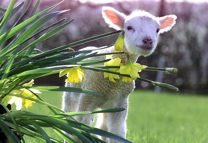 Image result for Happy Easter photo with lambs