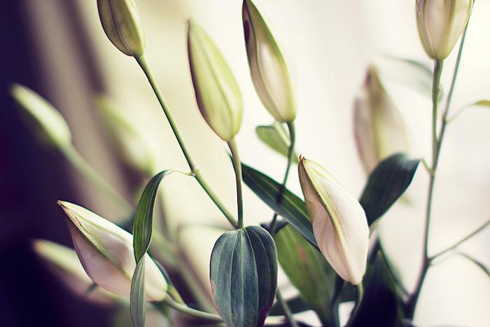 lilies-wont-open